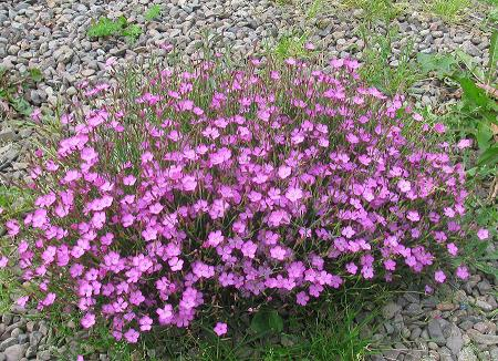 Northumberland national park to preserve rare uk flowers maiden pink flower uk mightylinksfo